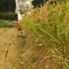 Inekari: Rice harvest